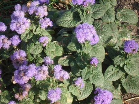 цветы культурные растения фото