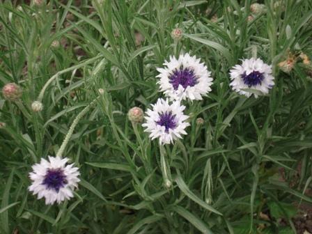 Васильки садовые фото цветов - 4