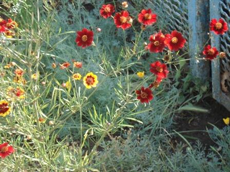 Цветы садовые кубани краснодарского