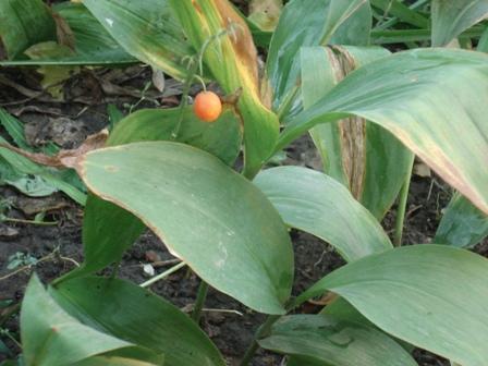 Ландыш майский convallaria majalis культурные