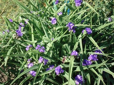 Цветок садовый доброе утро