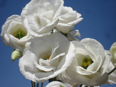 Эустома крупноцветковая eustoma grandiflorum