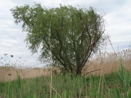 Cytisus ива ломкая salix fragilis хрупкая ива