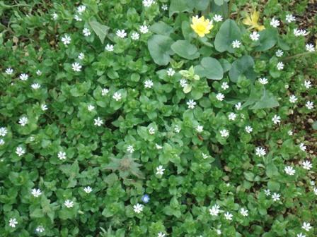 Мокрица цветок фото