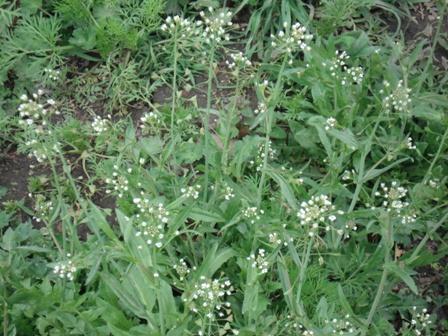 0fdec0501420 Пастушья сумка обыкновенная (Capsella bursa pastoris), сумочник обыкновенный