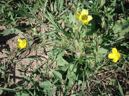 Цветы дикорастущие краснодарского края 11