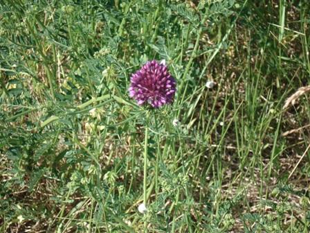 Цветы дикорастущие краснодарского края 59