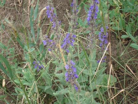 Цветы дикорастущие краснодарского края 35